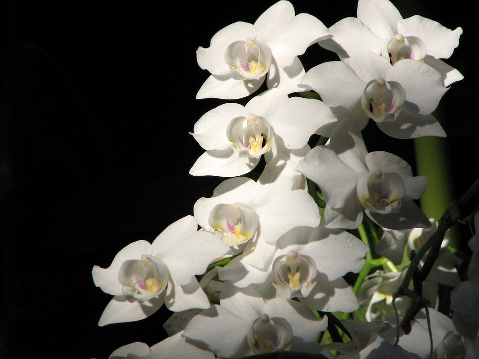 White orchids on a black background : Free Stock Photo