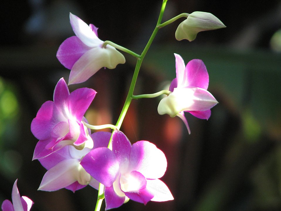 Closeup of pink orchids : Free Stock Photo