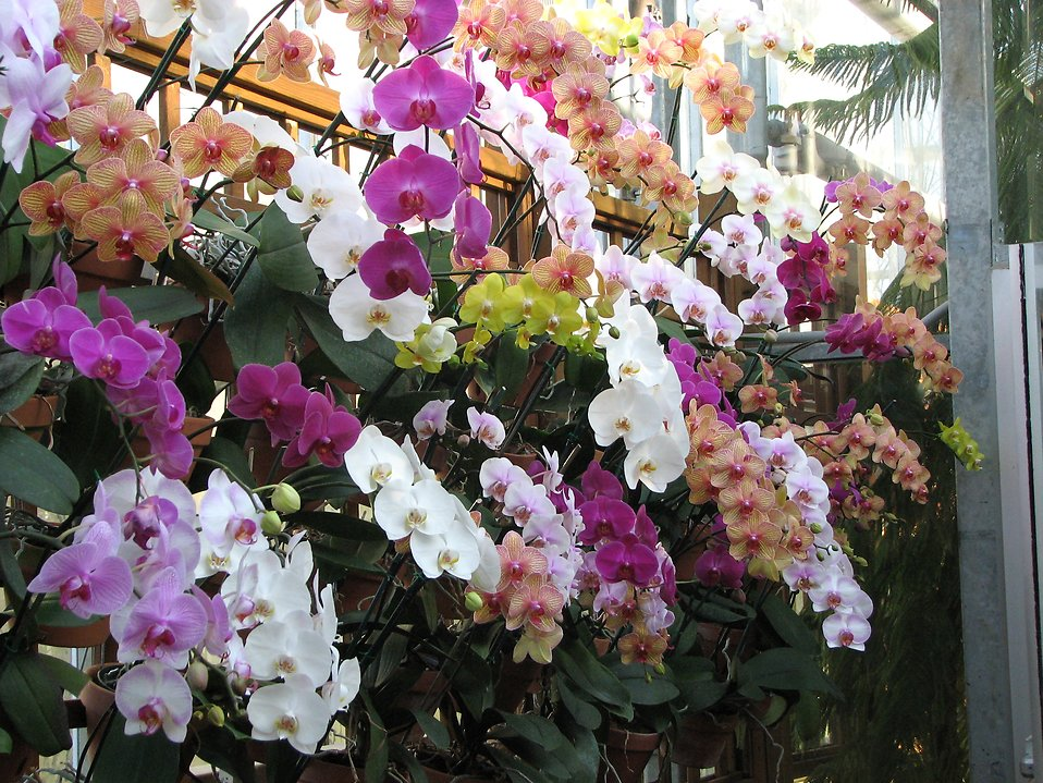 Multiple groups of colored orchids : Free Stock Photo