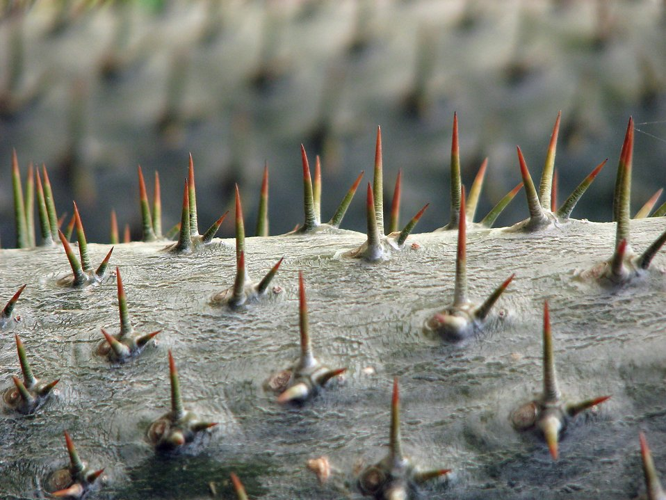 Closeup of thorns on a tree : Free Stock Photo