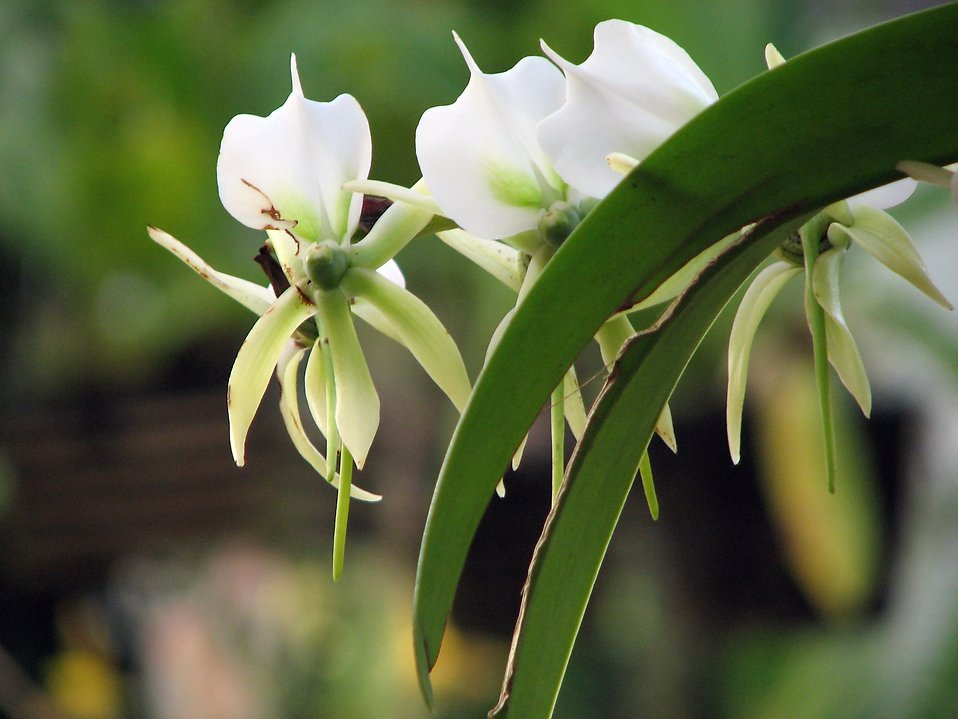 Closeup of white orchids : Free Stock Photo