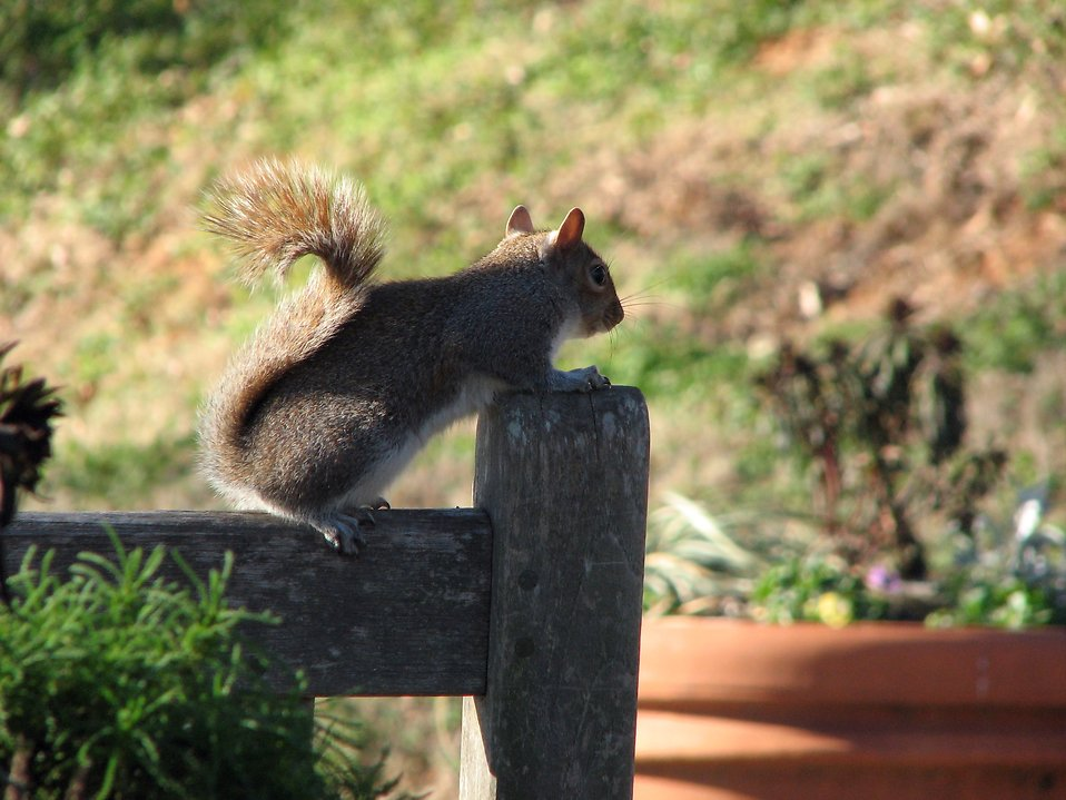 A squirrel on a wooden fence : Free Stock Photo