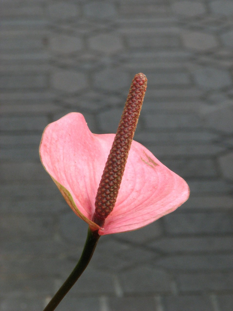 Closeup of a pink Peace Lily flower : Free Stock Photo