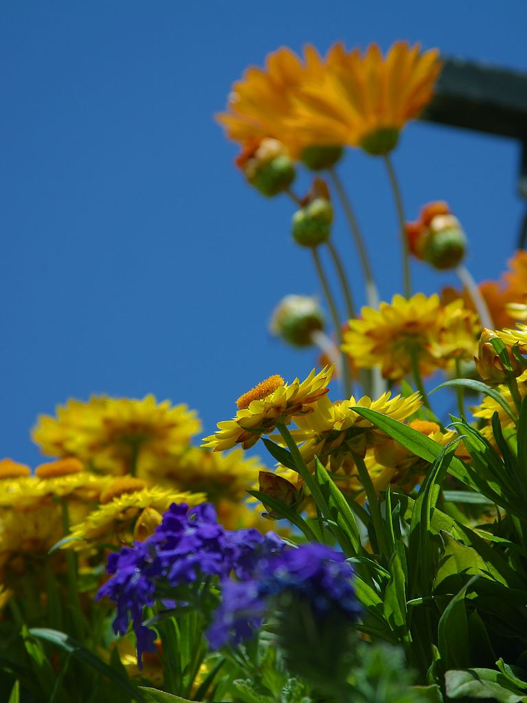 Close up of yellow and orange flowers : Free Stock Photo