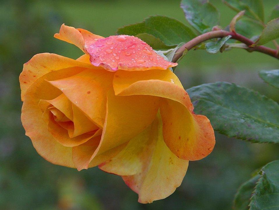 Close up of an orange rose : Free Stock Photo