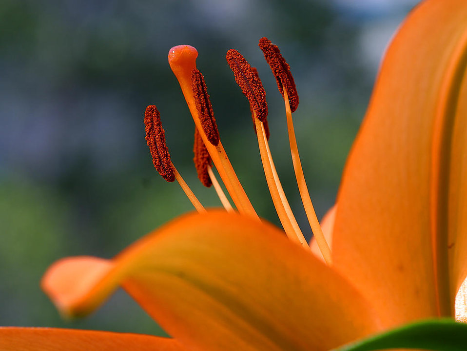Closeup of an orange flower : Free Stock Photo