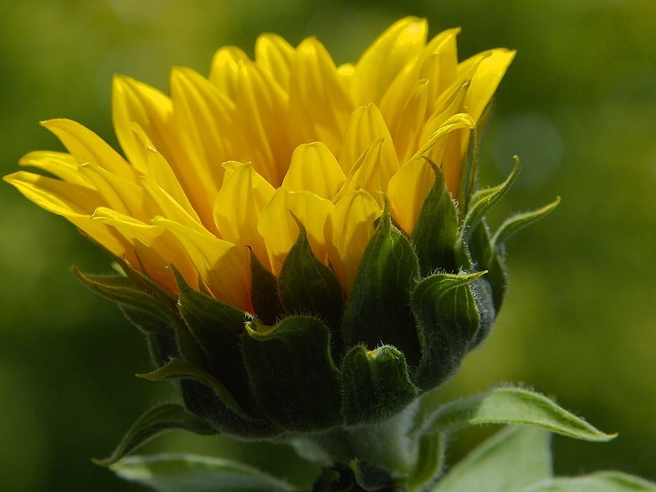 Close up of a yellow flower : Free Stock Photo