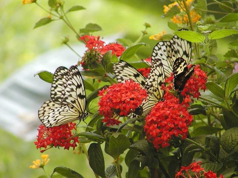 Yellow butterflies on red flowers : Free Stock Photo