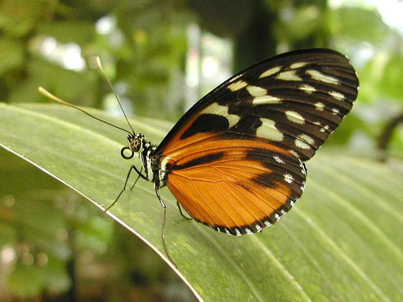 Closeup of a brown and orange butterfly on a leaf : Free Stock Photo