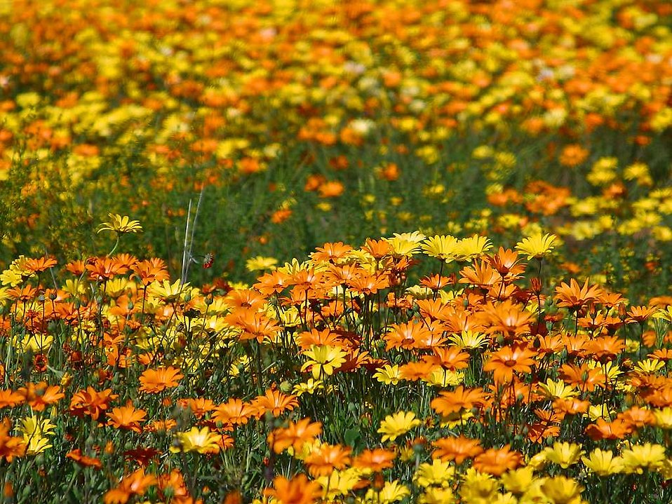 A field of yellow and orange wildflowers : Free Stock Photo