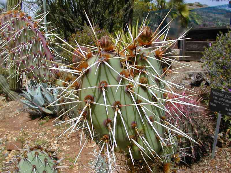 A cactus with large thorns : Free Stock Photo