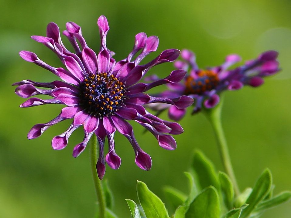 Close up of a purple flower : Free Stock Photo