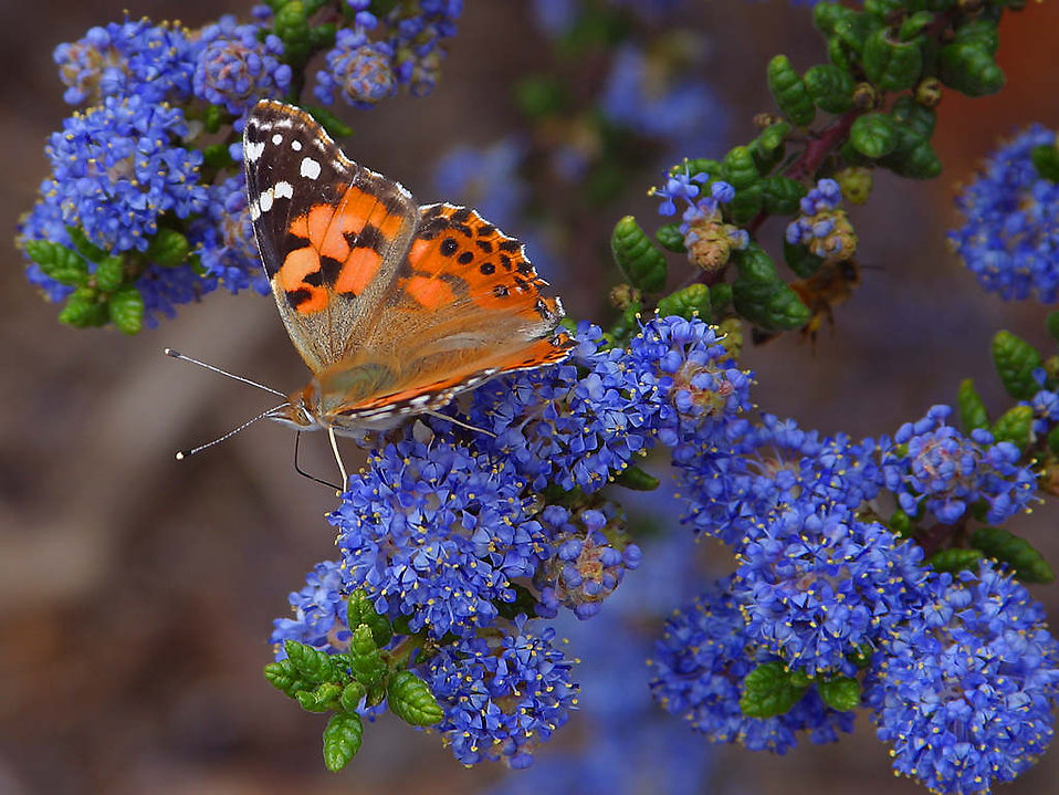 An orange butterfly on blue flowers : Free Stock Photo