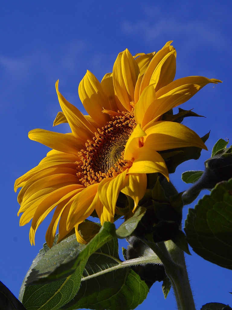 Closeup of a sunflower : Free Stock Photo