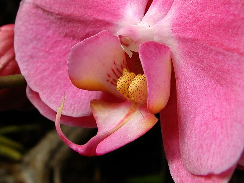 Close up of a pink orchid : Free Stock Photo