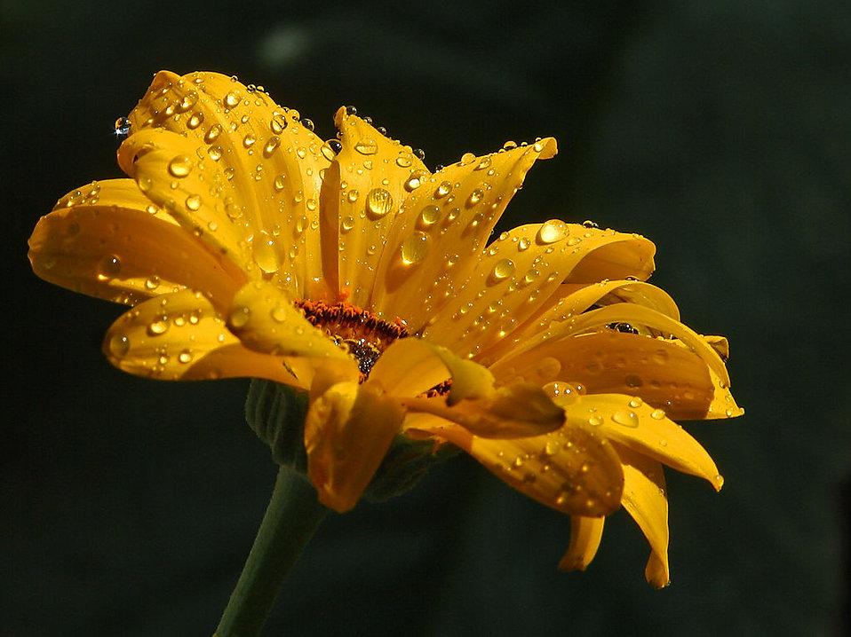 Close up of a yellow flower with water drops : Free Stock Photo