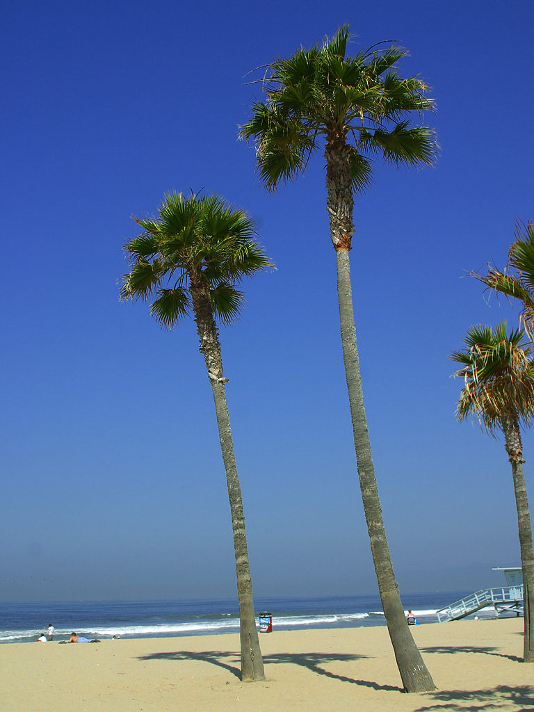 Tall palm trees on the beach by the ocean : Free Stock Photo