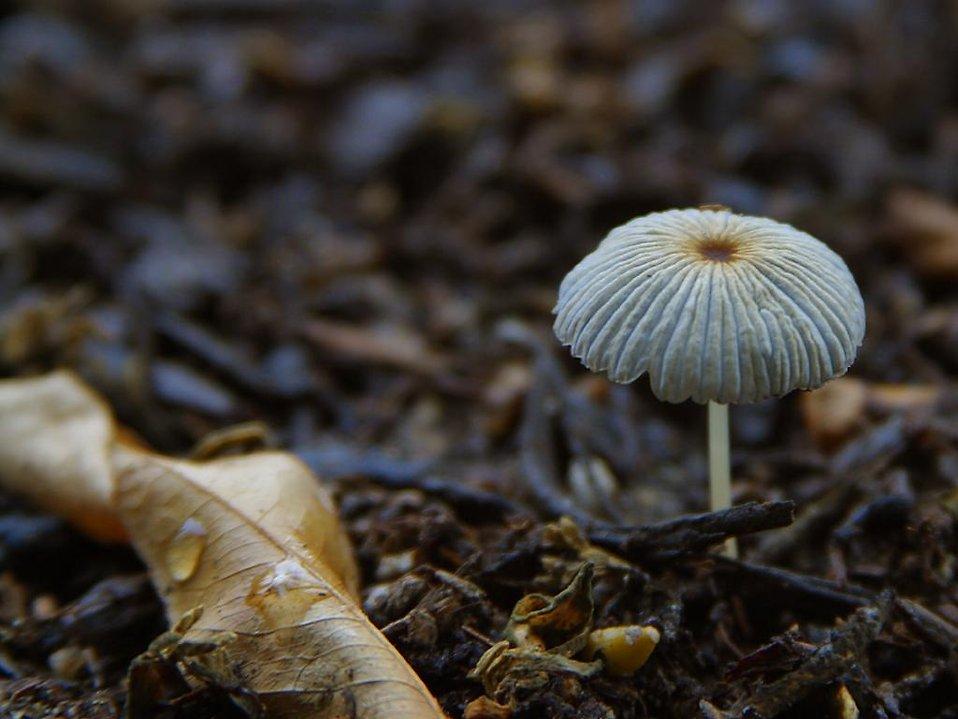Close up of a white mushroom : Free Stock Photo