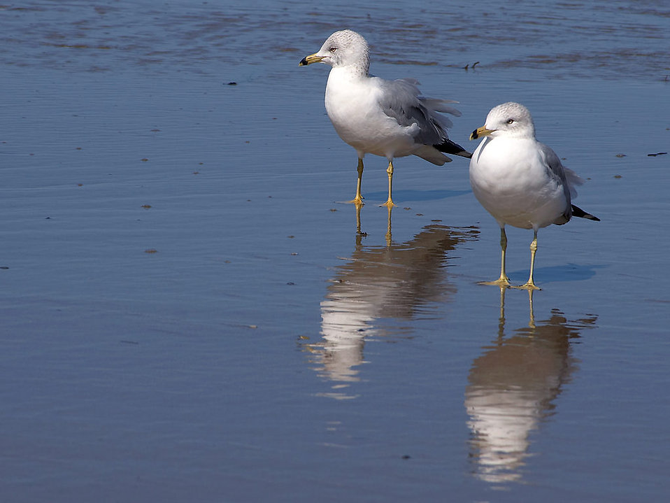 Two seagulls standing on the beach by the ocean : Free Stock Photo