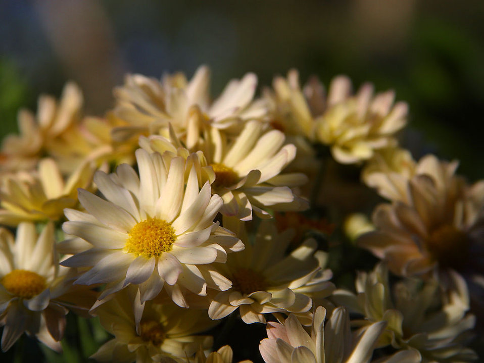 Close up of a bouquet of white daisies : Free Stock Photo