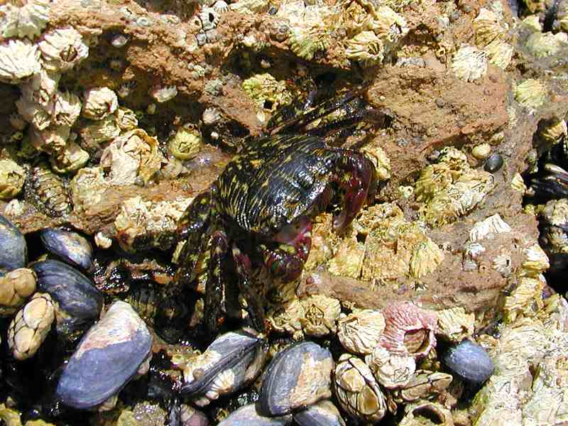 Closeup of a black and yellow crab : Free Stock Photo