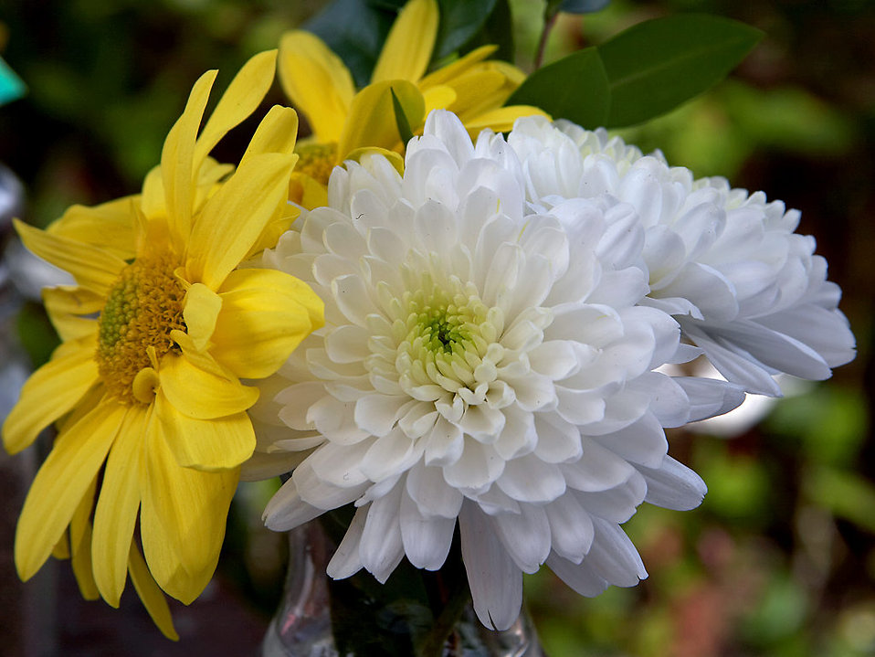 Closeup of white and yellow flowers : Free Stock Photo