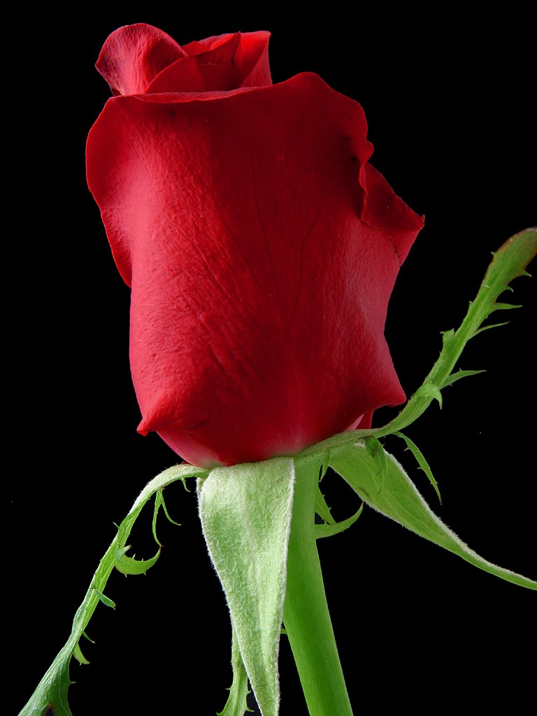 Closeup of a red rose on a black background : Free Stock Photo