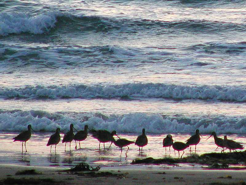A group of birds on a beach by the ocean : Free Stock Photo