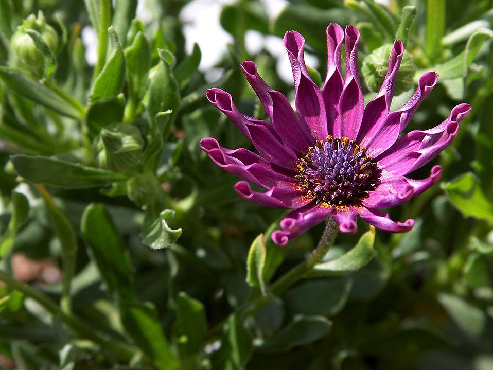 Closeup of a purple flower : Free Stock Photo