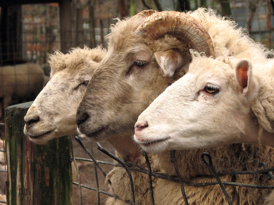 Two sheep and a ram leaning over a fence : Free Stock Photo