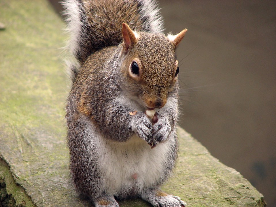 Closeup of a squirrel eating a nut : Free Stock Photo