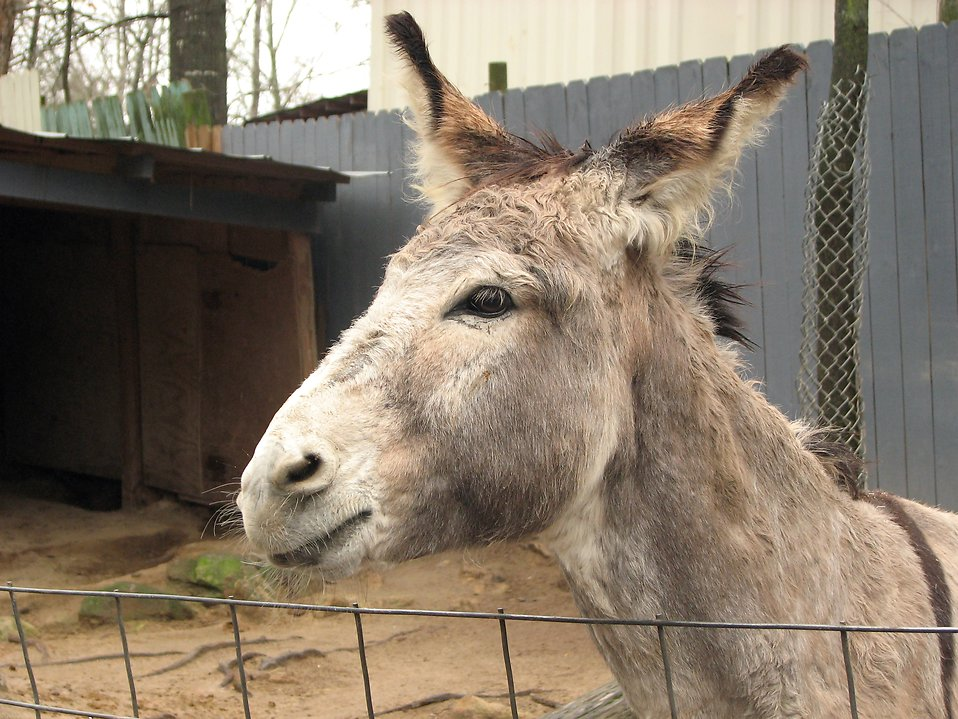 A donkey behind a fence : Free Stock Photo