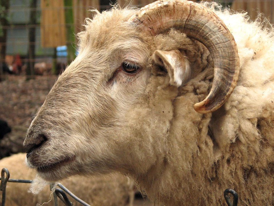 Closeup of a ram : Free Stock Photo