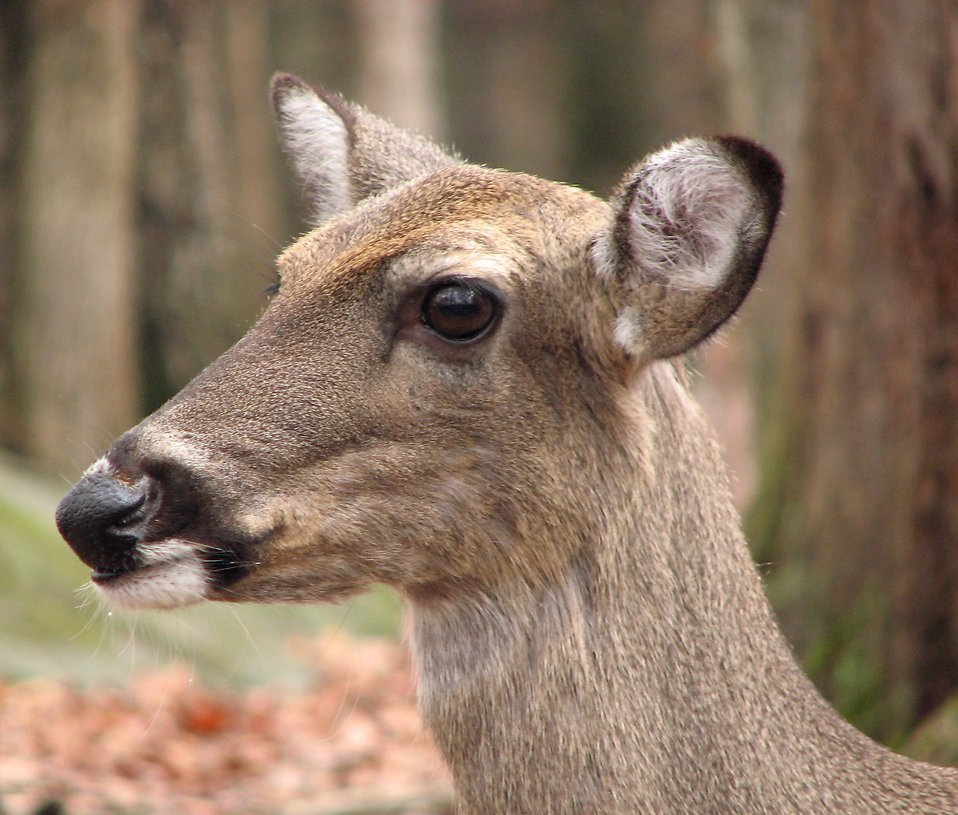 Closeup of a deer in the woods : Free Stock Photo