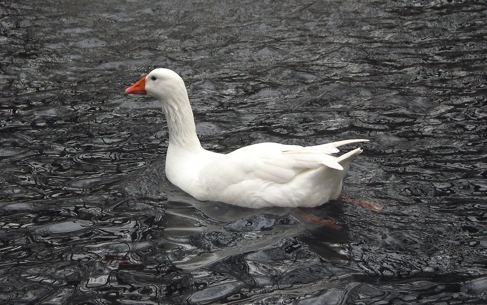 A white goose swimming in the water : Free Stock Photo
