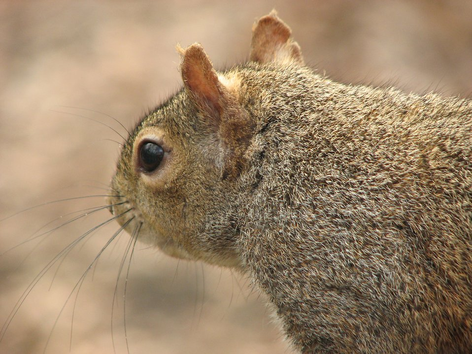 Closeup of a squirrel : Free Stock Photo