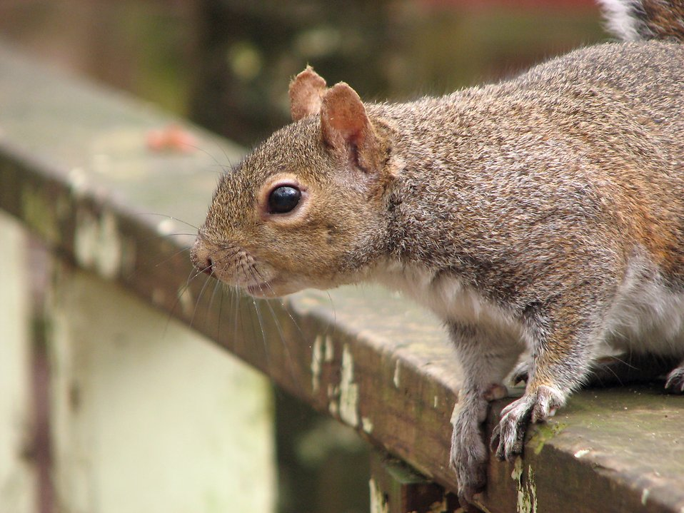 Closeup of a squirrel on a fence : Free Stock Photo