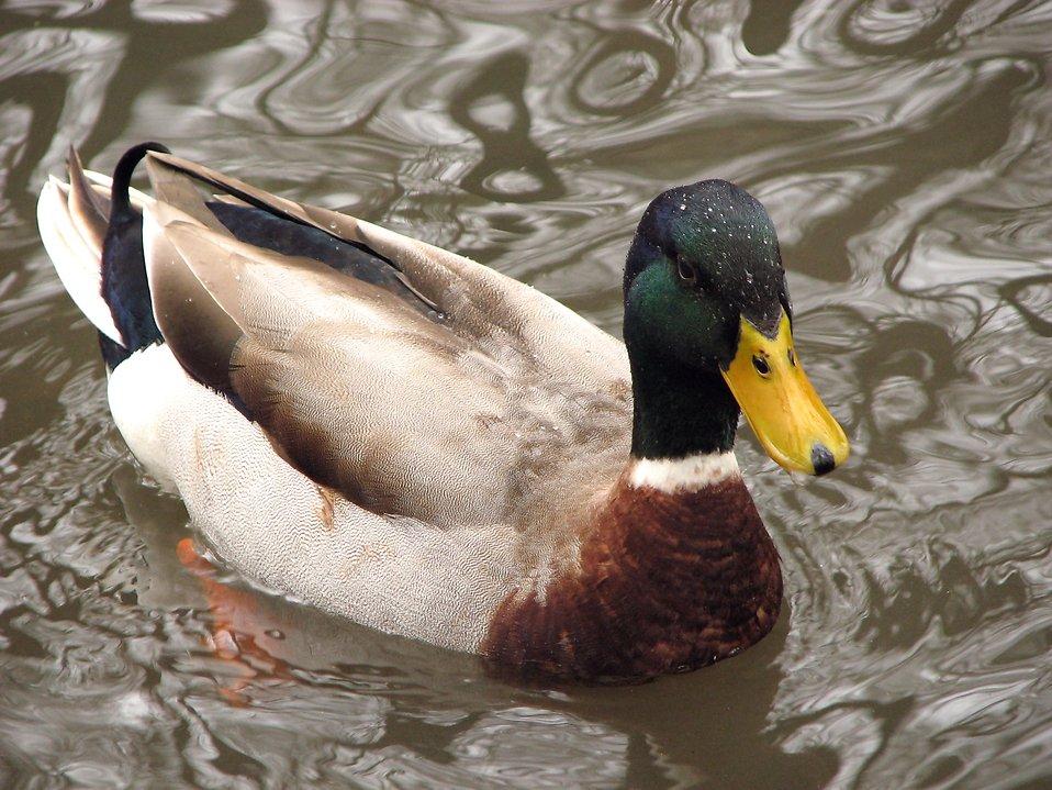 Closeup of a mallard duck swimming in the water : Free Stock Photo