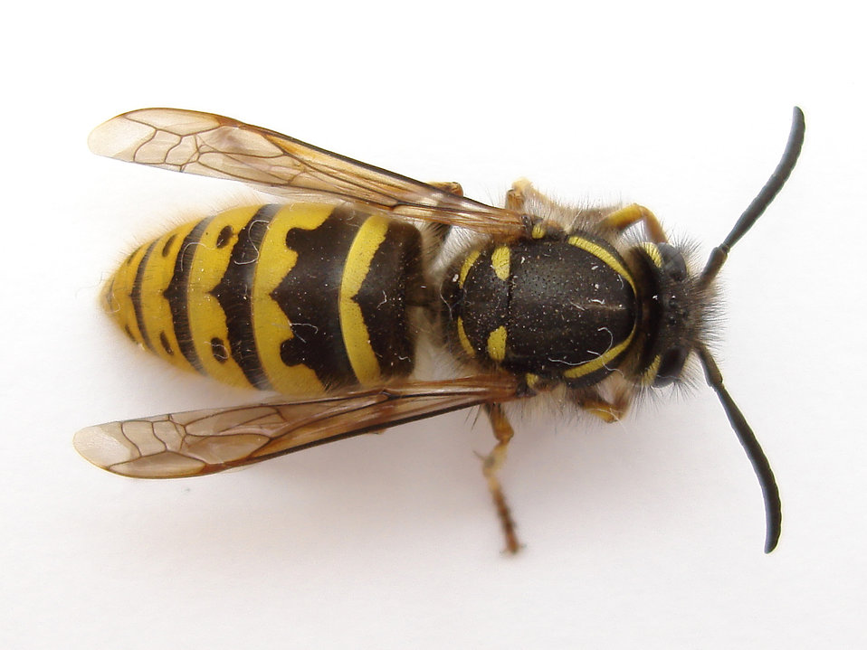 Close-up of a wasp : Free Stock Photo