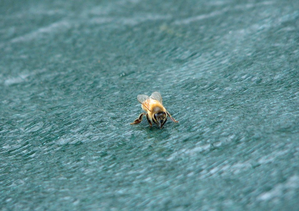 A honey bee on a blue tarp : Free Stock Photo