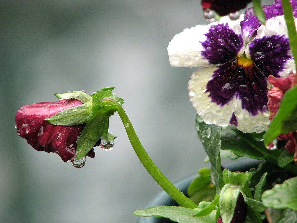 Close-up of a pansy and a red flower with rain drops on them : Free Stock Photo