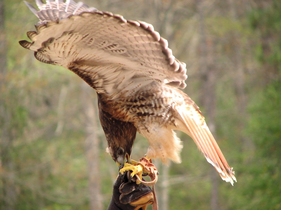 Closeup of a red-tailed hawk : Free Stock Photo
