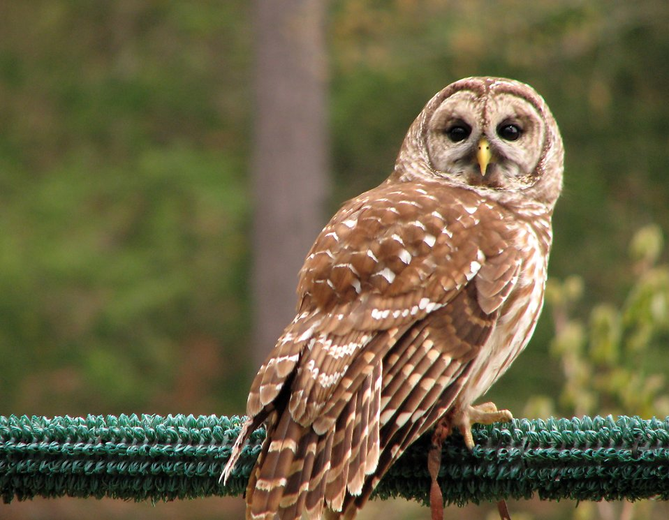 Close-up of a barred owl : Free Stock Photo