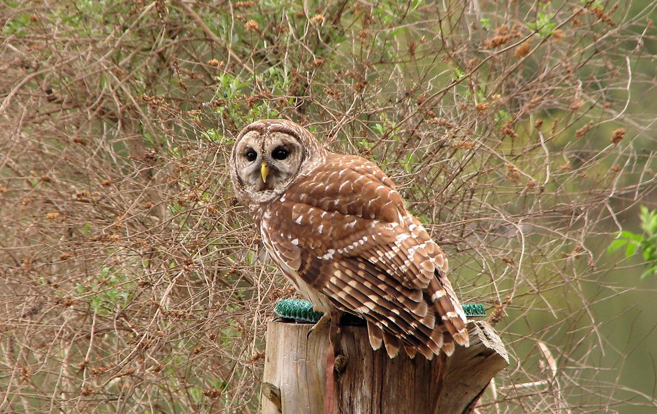 Close-up of a barred owl on a stump : Free Stock Photo