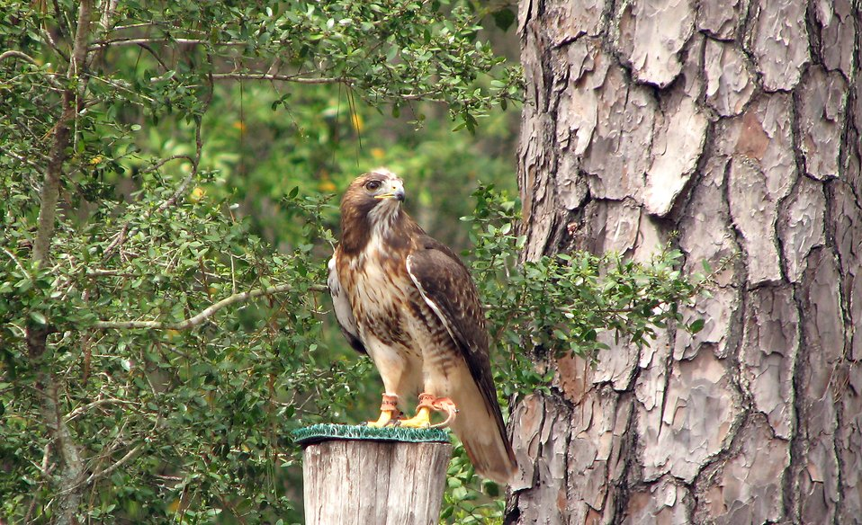 A red-tailed hawk on a stump : Free Stock Photo