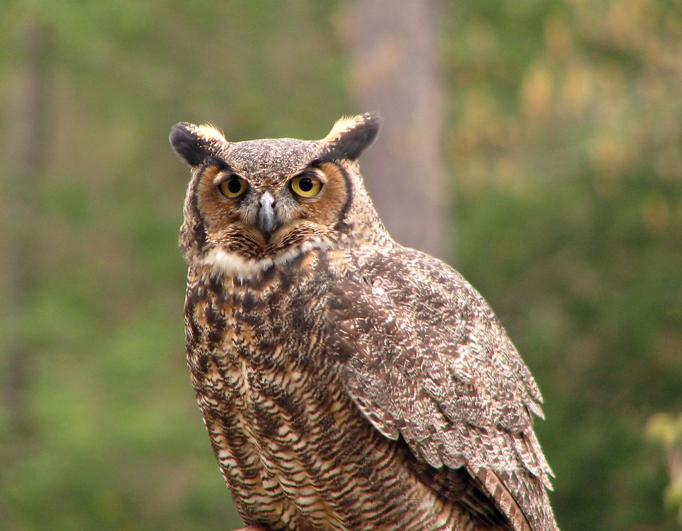 Close-up of a great horned owl : Free Stock Photo