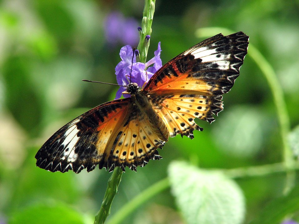 Closeup of an orange butterfly on a blue flower : Free Stock Photo
