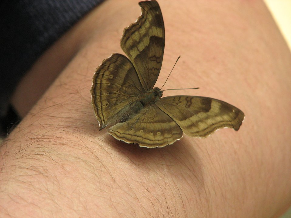 Close-up of a brown butterfly on a man's arm : Free Stock Photo