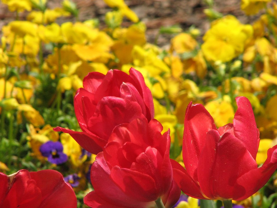 Red tulips with yellow flowers in the background : Free Stock Photo