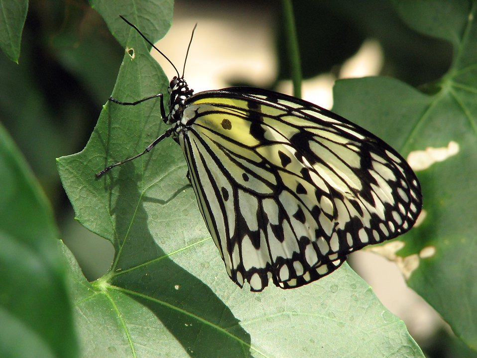 Closeup of a yellow butterfly on a leaf : Free Stock Photo